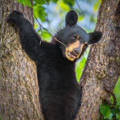 Merit Pictorial - Bear Cub - Marianne Diericks
