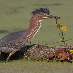 Honorable Mention - Pictorial - Green Heron with Leech - Don Specht
