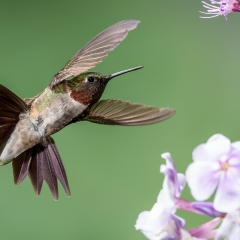 Merit - Nature - Hummingbird Display - Betty Bryan