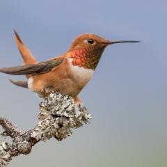 Merit - Pictorial - Rufous Hummingbird - Melissa Anderson