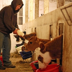 2.Feeding Calves