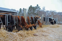 8. Heifers