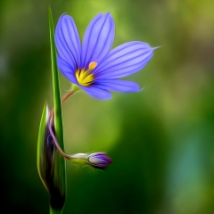 Honorable Mention - Altered Reality - Priairie Blue-Eyed Grass - Don Specht