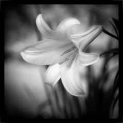 04 Trumpet Lily