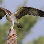 Honorable Mention Nature - Osprey by Jeff Bucklew