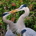 Honorable Mention Nature - Herons Kissing by Mary Lundeberg