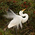 Honorable Mention Nature - Egret Mating Display By Mary Lundeberg