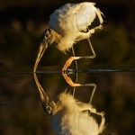 Honorable Mention Nature - Wood Stork Reflection by Mary Lundeberg