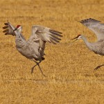 Honorable Mention Nature - Cranes Courtship Dance by Mary Lundeberg