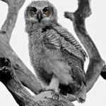 Contemporary Honorable Mention -  Great Horned Owlet by Mary Lundeberg