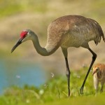 Nature Acceptance - Crane Leading Chick by Mary Lundeberg