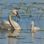 Realistic Acceptance - Swan caring for Cygnet by Mary Lundeberg