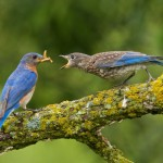 Nature Acceptance - Bluebird Feeding Young by Mary Lundeberg