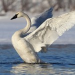 Nature Acceptance - Trumpeter Swan by Jeff Bucklew