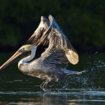 Realistic Acceptance - Pelican Dance by Mary Lundeberg