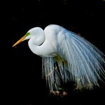 Contemporary Acceptance - Egret Mating Display by Mary Lundeberg