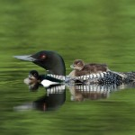 Nature Honorable Mention - Mother Loon with Young by Mary Lundeberg