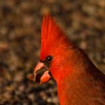 Nature - Cardinal by Kathy Lauerer