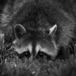 Nature - Racoon by Kathy Lauerer