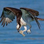 Nature - Hungry Osprey by Mary Lundeberg