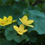 Nature - Marsh Marigolds by Terry Butler