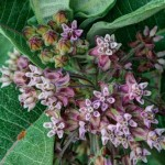 Creative - Milkweed Blossoms with Daddy Longlegs by Terry Butler