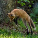 Nature - Leapin Fox by Jeff Bucklew