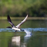 Nature - Loon Take Off by Jeff Bucklew
