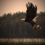 Nature - Eagle Flies with Dinner by Kathy Lauerer