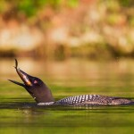 Nature - Loons Lunch by Jeff Bucklew