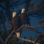 Nature - Two Eagles by Kathy Lauerer