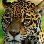 Realistic - Jaguar Stare by Michael Herrem