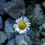 Nature - Daisy in Stream by Charles Oberstar