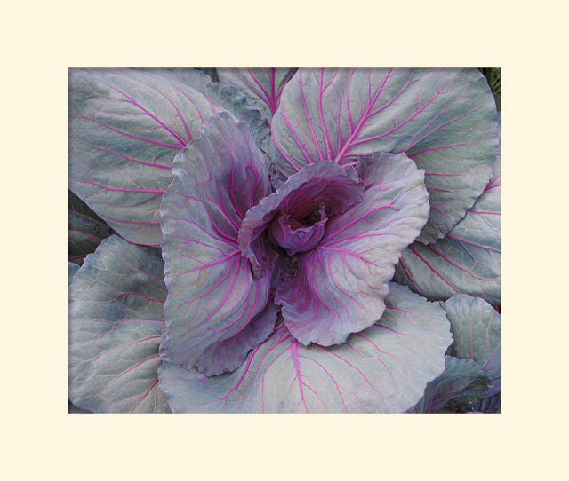Red Cabbage - Terry Butler